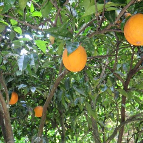 laranjas_sq