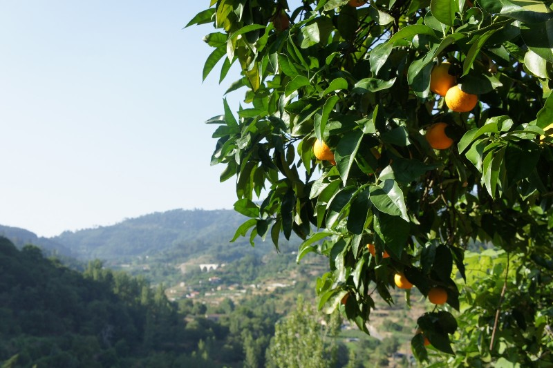 Orange tree on Casa da Raposeira's garden