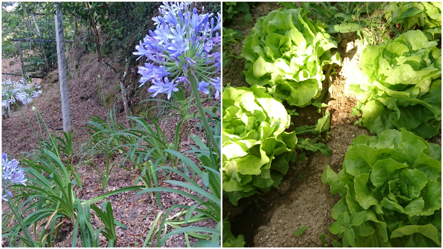 Agapanthus and lettuces
